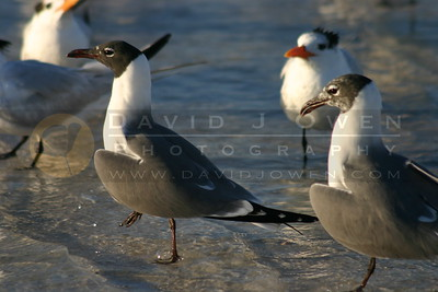 021905-10 Laughing gull