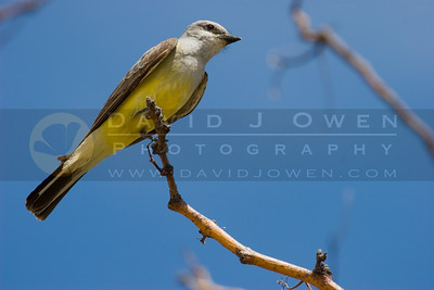 071006-094 Western Kingbird
