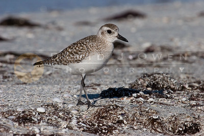 020907-055 Black-bellied Plover