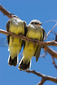071006-087 Western Kingbirds