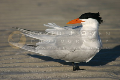 021905-27 Royal tern