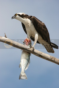 021106-169 Osprey eating Spotted Sea Trout