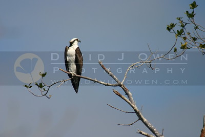 021705-20VAR Osprey