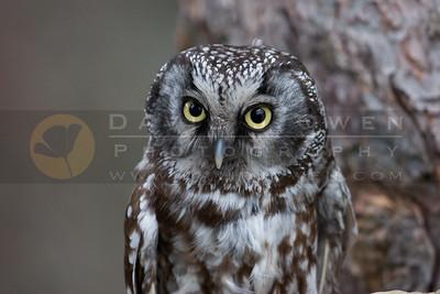 050507-114 Boreal Owl