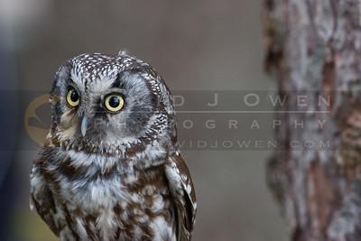 050507-120 Boreal Owl
