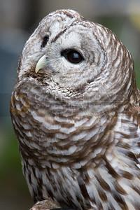 050507-093 Barred Owl