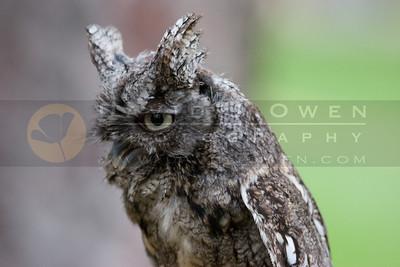 050507-229 Screech Owl
