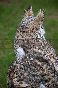 050507-147 Great Horned Owl