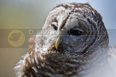 20090502-135 Barred owl