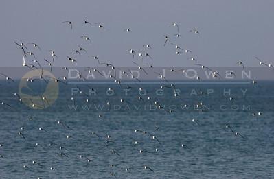 021307-072 Sanderlings