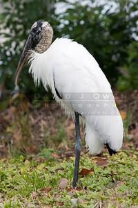021307-115 Wood Stork