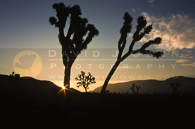 9792 Joshua Tree sunrise