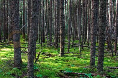 "080606-036 Moss & trees on ""J"" portage"