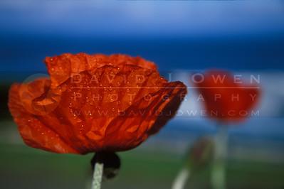 13814 1 Poppy and dew Hosteria Miller