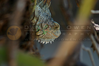 021905-37VAR Iguana close