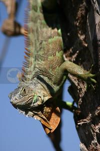 021905-42 Iguana
