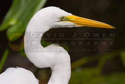 021107-108 Great Egret