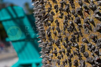 021406-103 Kapok Tree
