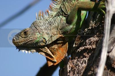 021905-41 Iguana