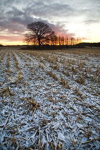 20081121-007 Oak and field sunrise