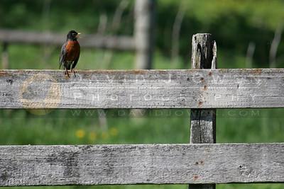 042406-003 1 Robin