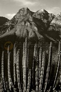 5426 1 Cordon cactus