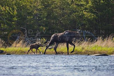 20090529-096 Moose & calf