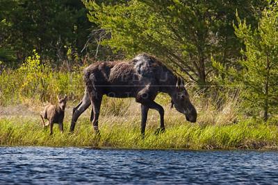 20090529-109 Moose & calf