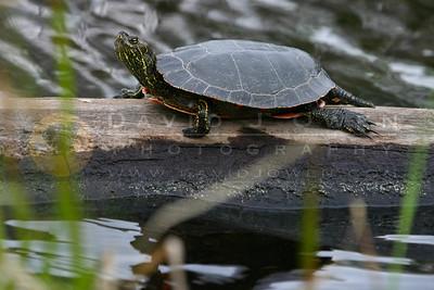 052105-09-2 Painted turtle