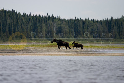 080506-016 1 Moose & calf on first puddle