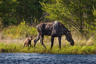 20090529-108 Moose & calf