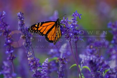 091905-002-2 Monarch Butterfly