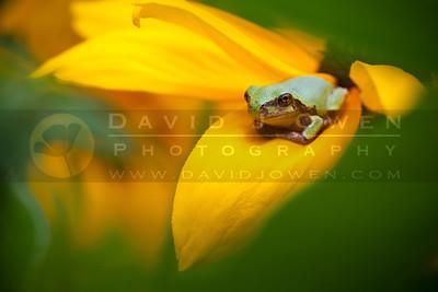 20100711-038 Tree frog on Rudbeckia