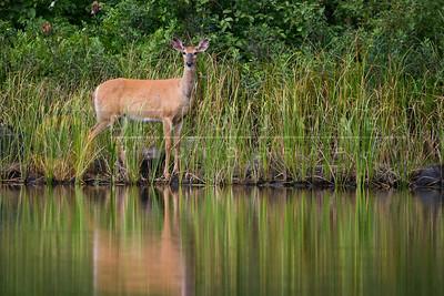 082005-04-2 Deer on upper Kawish