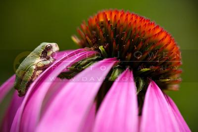 20100711-024 Tree frog on Echinachae