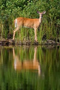082005-08-2 Deer on upper Kawish
