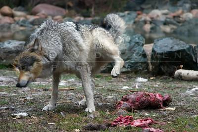 20080510-053 Wolves eat beaver at Wolf Center
