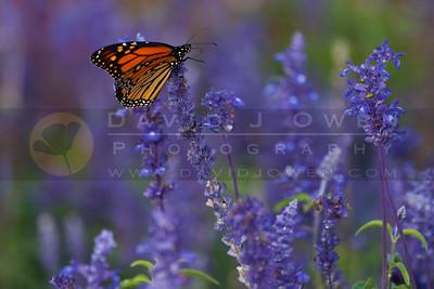 091905-001-2 Monarch Butterfly