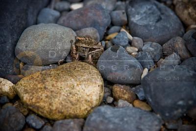 081706-103 Wood frog