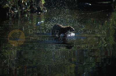 9632 Otter on Isabella River