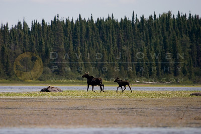 080506-019 1 Moose & calf on first puddle