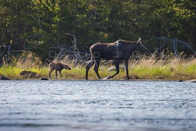 20090529-093 Moose & calf