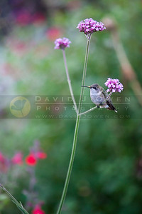 20090927-080 Ruby-throated hummer on Verbena
