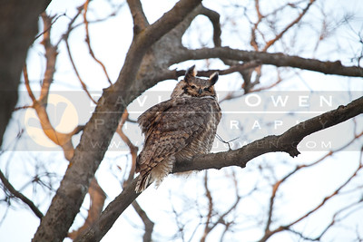 20111208-057 Great Horned Owl