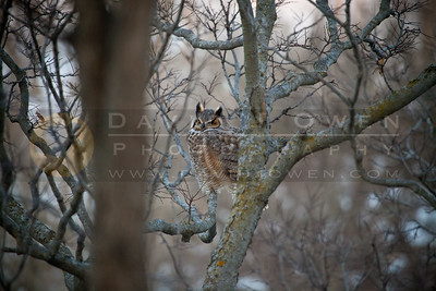 20111208-078 Great Horned Owl