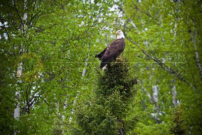 20100522-055 Bald Eagle