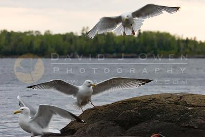 20090531-131 Herring Gulls