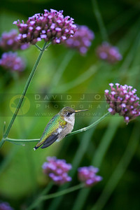 20090927-054 Ruby-throated hummer on Verbena