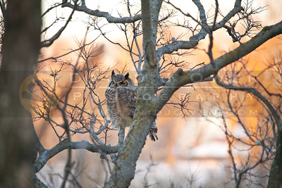 20111208-079 Great Horned Owl