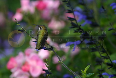 091905-091 Ruby-throated Hummingbird perched on salvia